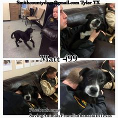 03/12/15-Saving Animals from Euthanasia in Texas Smith County Tyler, TX MATT, Cause# 499 Male, Black & White Shepherd Mix 5-6 months old, 29 lbs ***Brother to Jeff*** ***Picked up off of I-20 East*** Intake: 3/10, no chip TAG by *SUNDAY* MARCH 15th by 5 PM! Pickup will be *MONDAY* MARCH 16th at 10:30 AM. MUST BRING CRATES AT PICKUP OR WILL NOT BE RELEASED!!