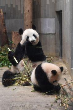Panda Love, Cute Panda, Animals Are Beautiful People, Panda's Dream, Baby Cubs, Kung Fu Panda, Cute Funny Animals, Fauna, Spirit Animal