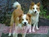 Beautiful Gentle Purebred Red And White Border Collie Pups