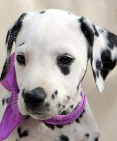 My future baby Animals And Pets, Baby Animals, Funny Animals, Cute Animals, Cute Puppies, Cute Dogs, Dogs And Puppies, Doggies, Dalmatian Dogs