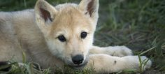 Wolf Puppies at Wolf Park in Indiana!