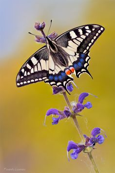 ~~Spring ~ butterfly by ~Verdenwelt~~