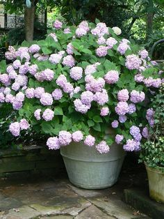 For a mass of white flowers all summer long plant a pot of white geraniums just remember to - Cuidar hortensias exterior ...