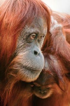 Sabah, northern Borneo.  One of the animals most associated with this area is the orangutan, but it is also home to other primates...  Picture: Alamy