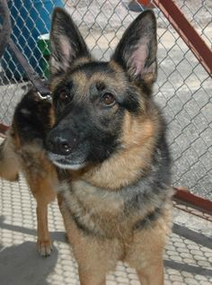 Meet Sable, a Petfinder adoptable German Shepherd Dog Dog | Warwick, RI | Sable was turned into the shelter.  She is about 3 years old, very friendly and knows her basic...