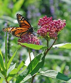 Growing Milkweed for Monarchs - One of the keys to having monarchs-for their survival now and in the future-is having lots of milkweed. Here are step by step instructions on how to grow milkweed!