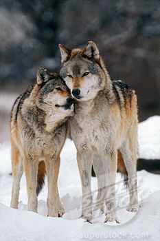 nuzzling wolves - Google Search