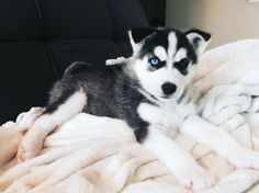 Everyone meet Oliver the husky! He likes to play soccer, chew on blankets, and has two different colored eyes. via - instagram.com/makatsaris