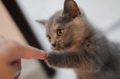 Gato Munchkin gris dando la pata