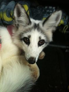 silver arctic fox for sale exotic pets pinterest arctic fox