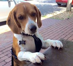 Begging for all beagles to be free. #vote for @beaglefreedom #UpgradeYourWorld