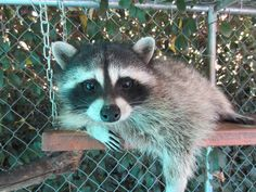 The Rescued Raccoon Who Is About To Make Your Day