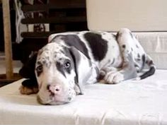 Great Danes are so adorable!