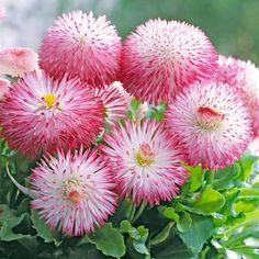 Bellis perennis 'Pomponette' (Garden Ready) - Perennial & Biennial Plants - Thompson & Morgan