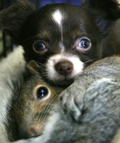 DOG AND SQURREL Finnegan the squirrel happened upon an adorable jackpot. The lonely rodent was found injured and malnourished in a Seattle neighborhood, and was taken to a local woman known to help needy animals. In this case, the womans pregnant Papillon dog stepped in, willingly snuggling up to and caring for Finnegan. The love train didnt stop once the puppies were born.