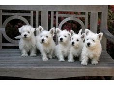 Love these Westie puppies!!