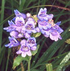 purple_bs_24-520s
