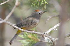 Oreothlypis crissalis - Colima Warbler