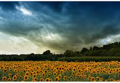 This photo from Kilkis, Macedonia is titled 'sun oh sun, where are you? What A Wonderful World, Macedonia, Oh The Places You'll Go, Homeland, Regional, Sunflowers, Wonders Of The World, Mythology, Affair