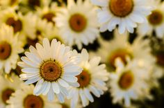 Flowers Marguerites Oxeye Daisies · Free Photos. All images are Creative Commons Zero (CC0) license.