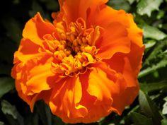 aksamitka-marigold