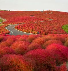 Hitachi seaside park -  Kokuei Hitachi Kaihinkōen is a public park in Hitachinaka, Ibaraki, Japan.Covering an area of 190 hectares, the park features blooming flowers around the year.[