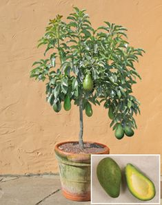 Avocado tree growing in a pot