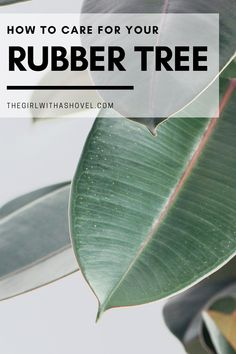 Not sure how to keep your rubber plant alive and growing like crazy?! Follow these quick plant care tips to keep your rubber tree looking amazing! KEEP YOUR RUBBER PLANT ALIVE WITH THESE QUICK PLANT CARE TIPS! Rubber Plant Care | Rubber Tree Plant Care | Indoor Rubber Plant | Rubber Plant Care Tips | Rubber Tree Plant Care | Indoor Rubber Tree | Ficus elastica | #rubberplant House Plants Decor, Plant Decor, Water Plants, Cool Plants, Rubber Plant Care, Trees To Plant, Plant Leaves, Ficus Elastica, All About Plants