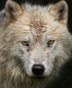 ~~Arctic Wolf by Jim Cumming~~