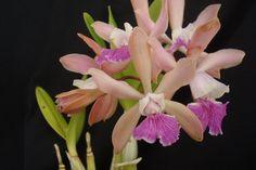 Cattleya intermedia  x Enc. hanburyi