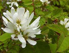 Amelanchier alnifolia, saskatoon, Westen serviceberry