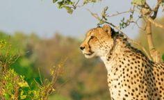 """Os guepardos  estão em """"Em perigo"""""""