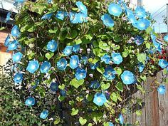 Morning glories are beautiful flowers that seem to reward a gardener for ignoring them. With little care and attention, morning glories will climb happily up a trellis, fence or string to cover the vertical surface with vivid blooms. In fact, morning glories thrive in poor soil rather than the standard rich loam that ...