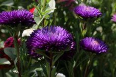 Обои Астры Крупным планом Фиолетовый Цветы