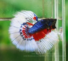 White red and blue fancy 4th of July betta