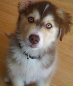 This is Leon. He is a Goberian, which means his sire is an AKC Siberian Husky and his dam is an AKC Golden Retriever.