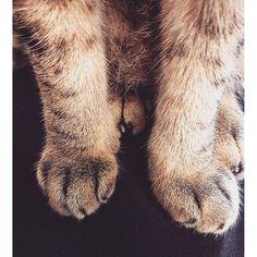 【手掌】 你看我的手掌好短好可愛 See my adorable short palm. 私のかわいいと短い手を見ます。  #cat #instacat #喵星人#貓掌 #貓 #咪牯 #instapet #短  #photo #猫 #japaneselearneriammigu_2016/03/15 12:15:09