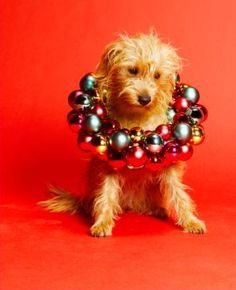 Dog With Baubles - christmas Photo