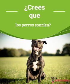 ¿Crees que los perros sonríen? -Mejor con Mascotas  Ese gesto en la cara de nuestro perro cuando se muestra feliz se tratará de una sonrisa. Sigue leyendo y descubre si, efectivamente, los perros sonríen. #sonrisa #perro #feliz #curiosidades