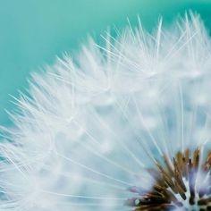 """If dandelions were hard to grow, they would be most welcome on any lawn.""    Love teal, love Dandelions"
