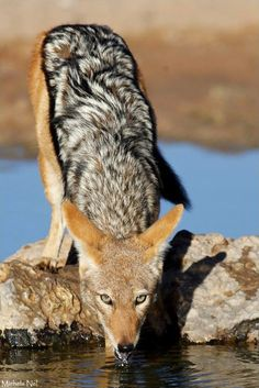 """""""It's in the Eyes"""" - This black-backed jackal kept his beady little eyes on us the entire time that he drank from the waterhole - Kgalagadi Transfrontier Park"""