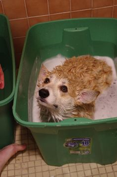 Aww poor puppy!!  My pups look just like this when I give them a bath hehe  - I trusted you! How could you do this to me?! Somebody HALP!