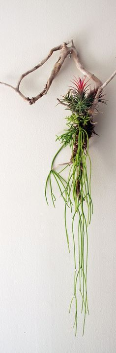 The mistletoe cactus really makes this one. Ingredients: Driftwood (cleaned and free of salts) Sphagnum Moss (long grain works best) Twine Tillandsia (Air Plant) Mistletoe Cactus (Look for Rhipsalis with the Exotic Angel houseplants). Deco Floral, Arte Floral, Air Plants, Indoor Plants, Succulent Wall Art, Air Plant Display, Decoration Plante, Cactus Y Suculentas, Cacti And Succulents