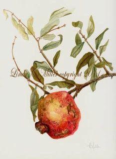Sketching in Nature: Pomegranate Fruit ~ Linda C. Miller