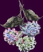 TWO METHODS FOR DRYING HYDRANGEAS    This page is devoted to the subject of air-drying hydrangeas (drying them naturally), either while the blooms are on the shrub or after they are picked.
