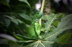Iguana, Grand Cayman