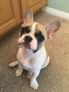 """""""...but WHY can't I have another treat?"""", French Bulldog Puppy"""
