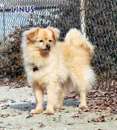 Linus will be a wonderful companion for some lucky person. He is sweet and loves to be held , but he also has a playful side and enjoys the other dogs. Check out his page!