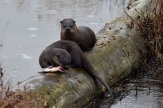 Otter does not want to share his fish with his friend - November 2, 2014 - More at today's Daily Otter post: http://dailyotter.org/2014/11/02/otter-does-not-want-to-share-his-fish-with-his-friend/ !