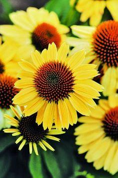 "CONEFLOWER ""Sandy Yellow"" (Echinacea Purpurea-Sombrero) 1... http://www.amazon.com/dp/B00EXS5SPM/ref=cm_sw_r_pi_dp_lkOoxb0W0TFW9"